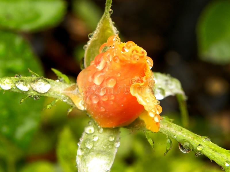 Rose Raindrops de florecimiento imagen de archivo libre de regalías