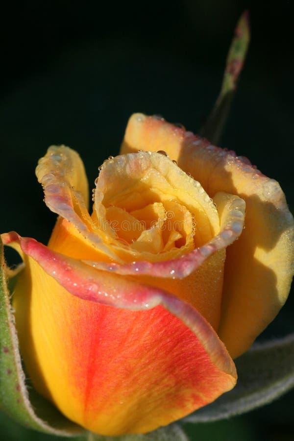 rose rano zdjęcia royalty free