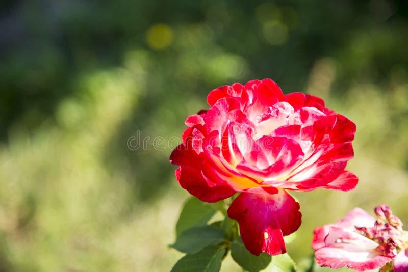 Rose Red fotos de archivo