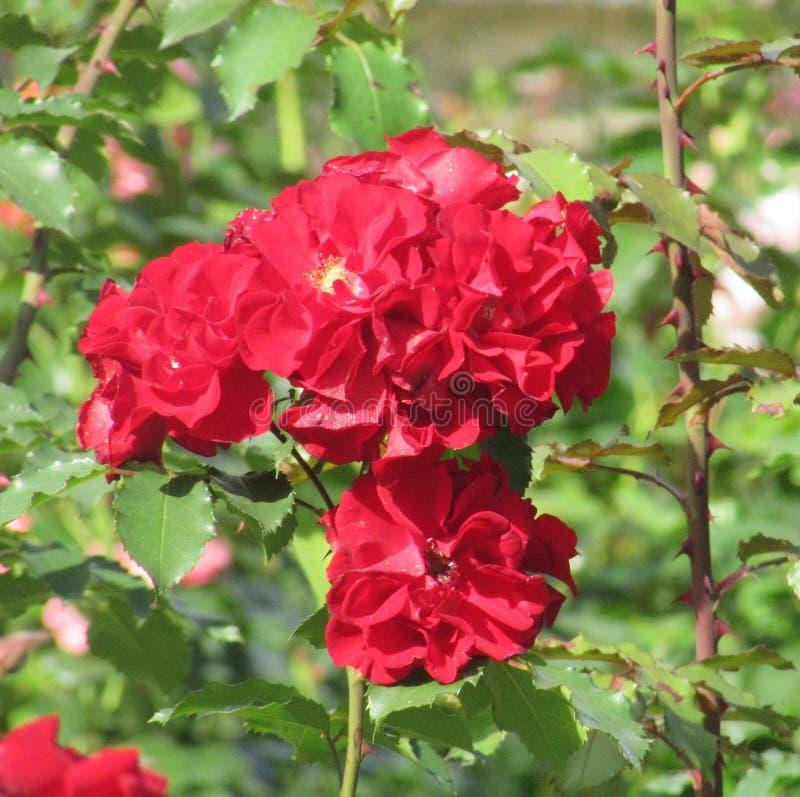 Rose Red lizenzfreie stockbilder