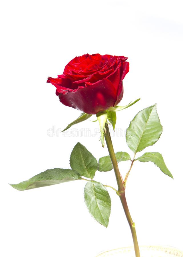 The rose is red royalty free stock image