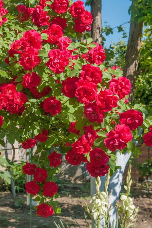 Rose red1 lizenzfreie stockfotografie