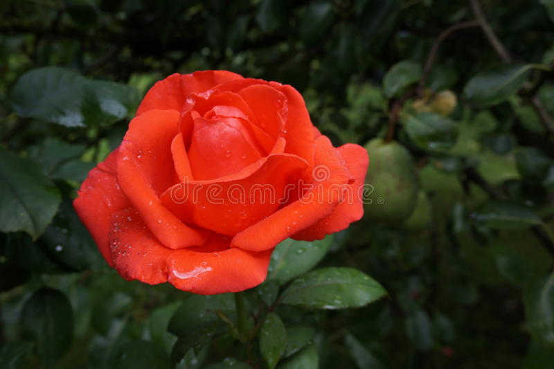Rose Red royalty-vrije stock afbeelding