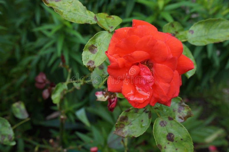 Rose Red stock foto