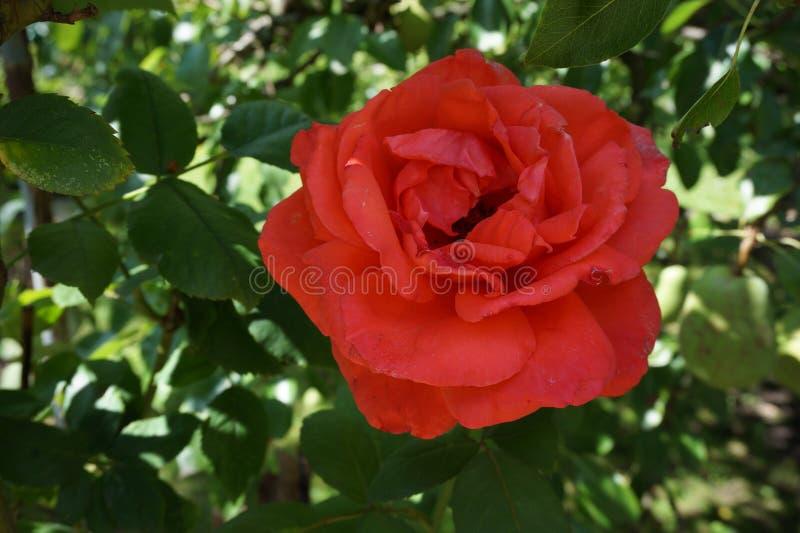 Rose Red royalty-vrije stock foto