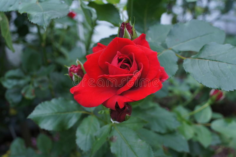 Rose Red stock afbeeldingen