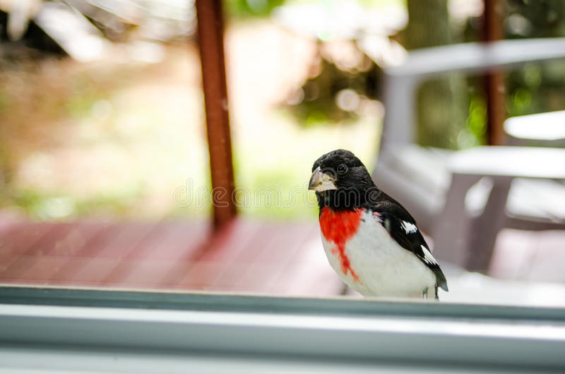 Rose Red Breasted Grosbeak - Pheucticus ludovicianus - sits on my window sill and looks into the house. royalty free stock image