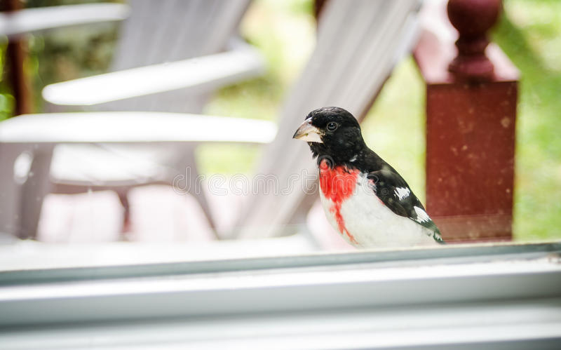 Rose Red Breasted Grosbeak - Pheucticus ludovicianus - sits on my window sill and looks into the house. stock photos
