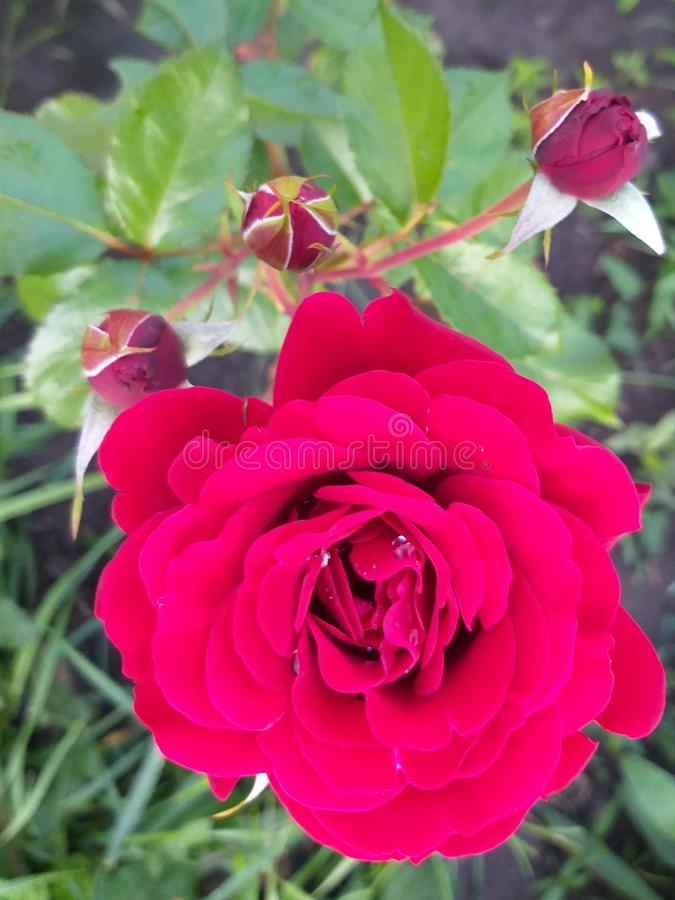 Rose red with buds in garden royalty free stock photography