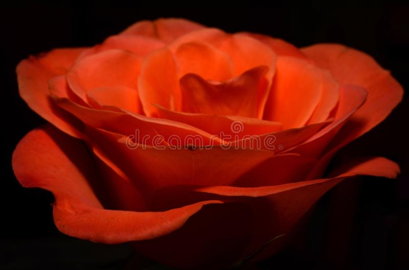 Rose, Red, Rose Family, Orange stock photography