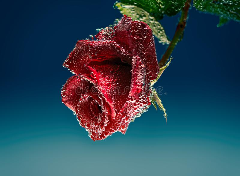 Rose red flower in mineral water with air bubbles stock photo