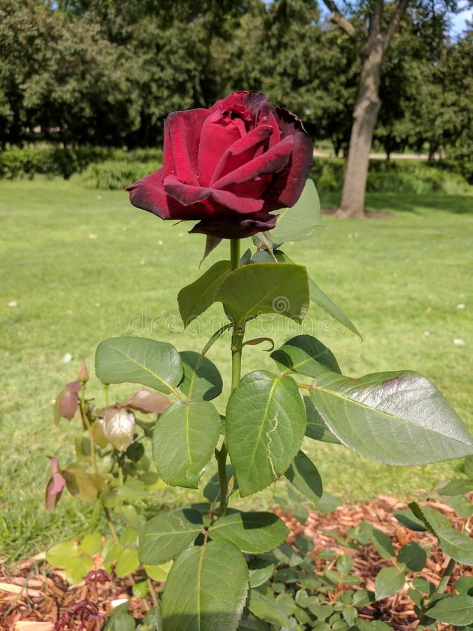 Rose. A red rose found in McKennon Park stock image