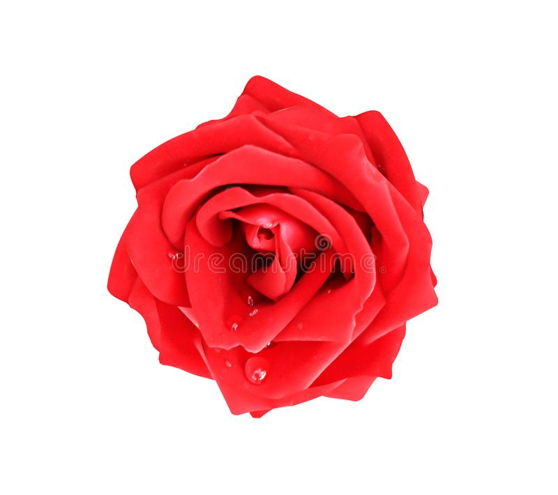 Rose red fresh bright colorful petal flower blooming with water drop patterns isolated on white background , clipping path stock photo