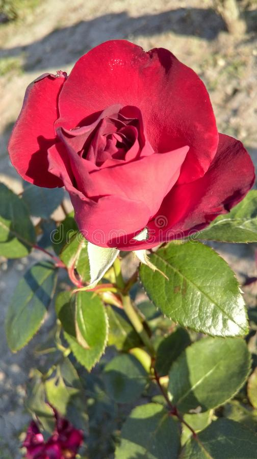 Rose royalty free stock image