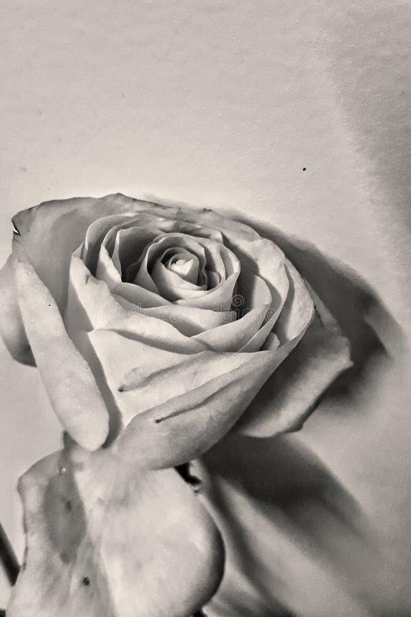 rose retro obrazy stock