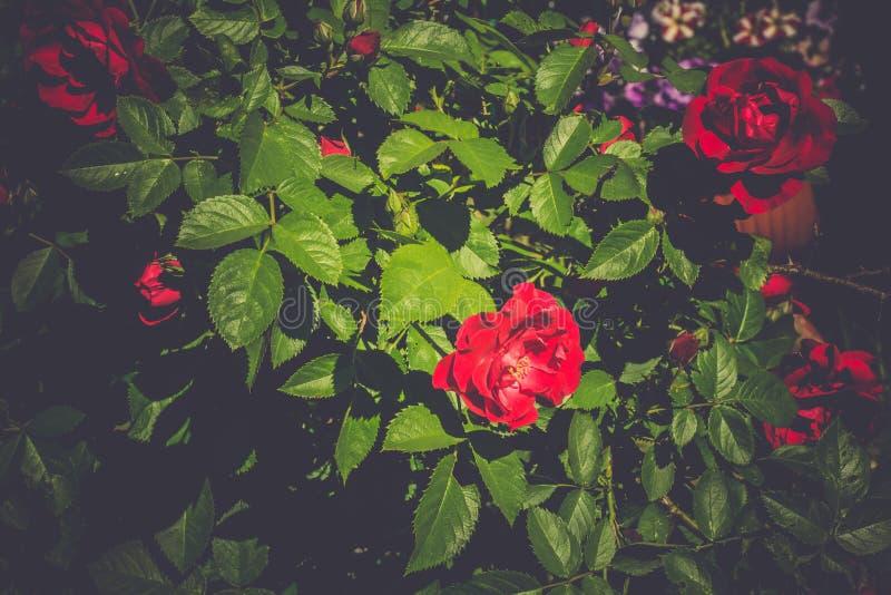 Rose Retro de escalada vermelha fotos de stock royalty free