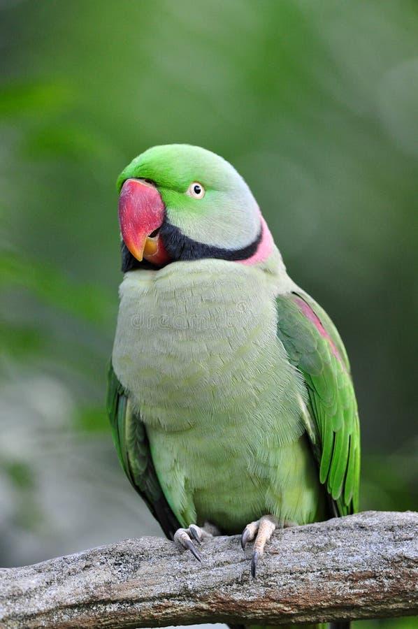 Rose-ringed Parakeet. On the tree royalty free stock photo