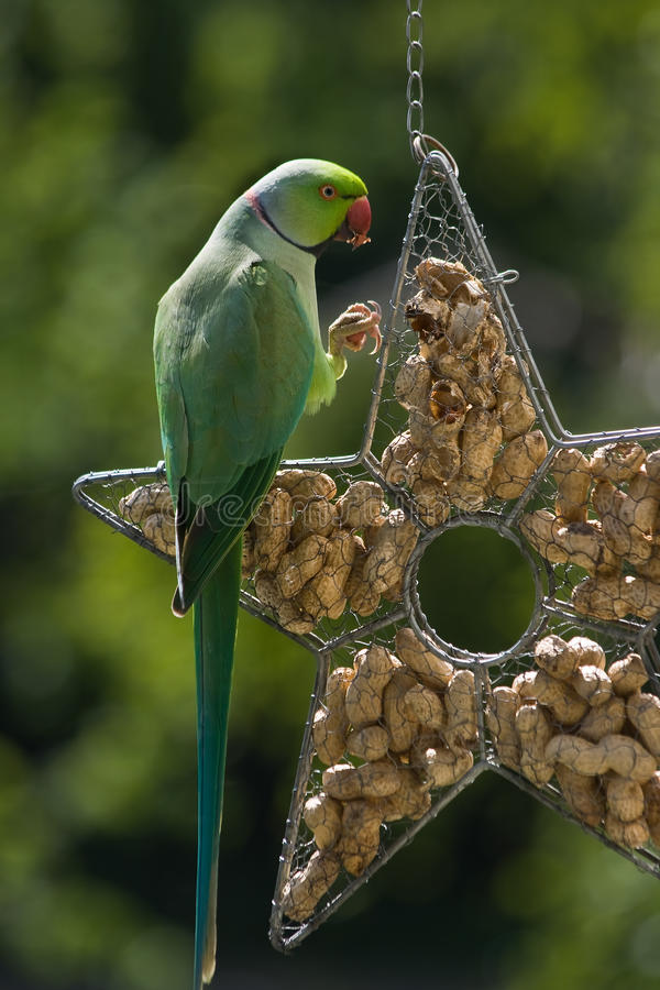 Download Rose-ringed Parakeet Eating Peanuts Stock Image - Image: 9831199