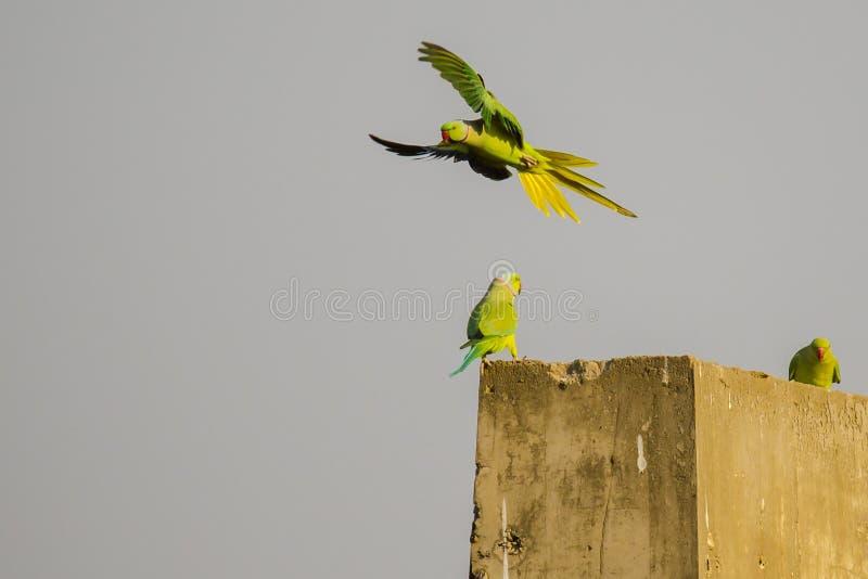 Rose Ringed Parakeet Flight Takeoff fotografia de stock royalty free