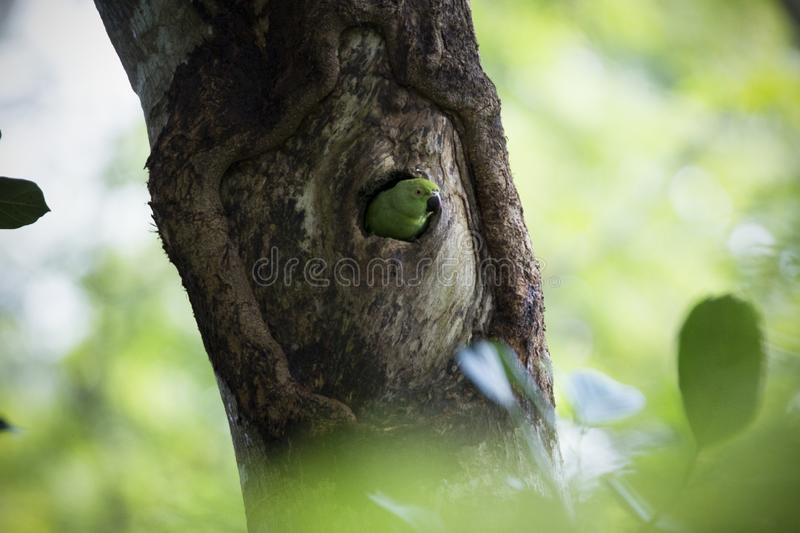 Rose-ringed Parakeet in nest royalty free stock photo