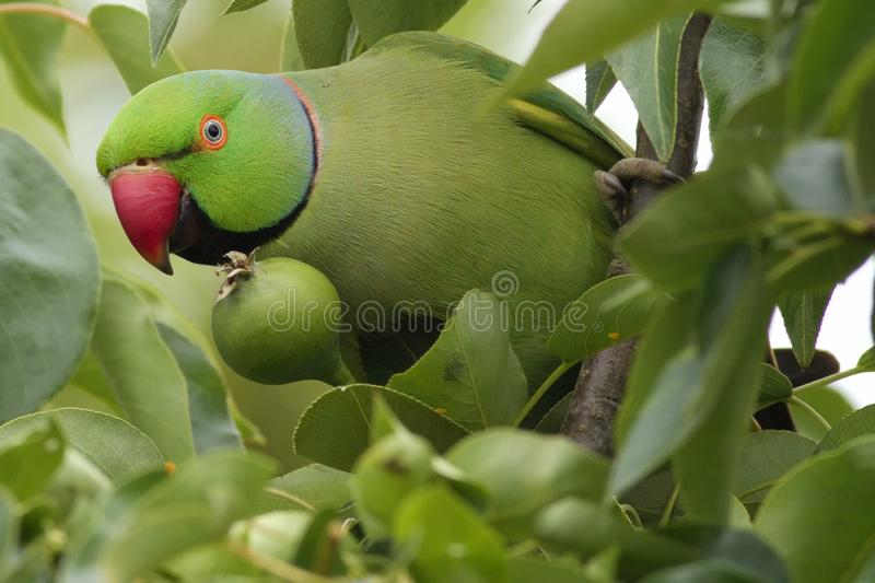 Rose-ringed parakeet in a pear tree. Rose-ringed parakeet Psittacula krameri perched in a pear tree. These parkeets are considered as invasive species in