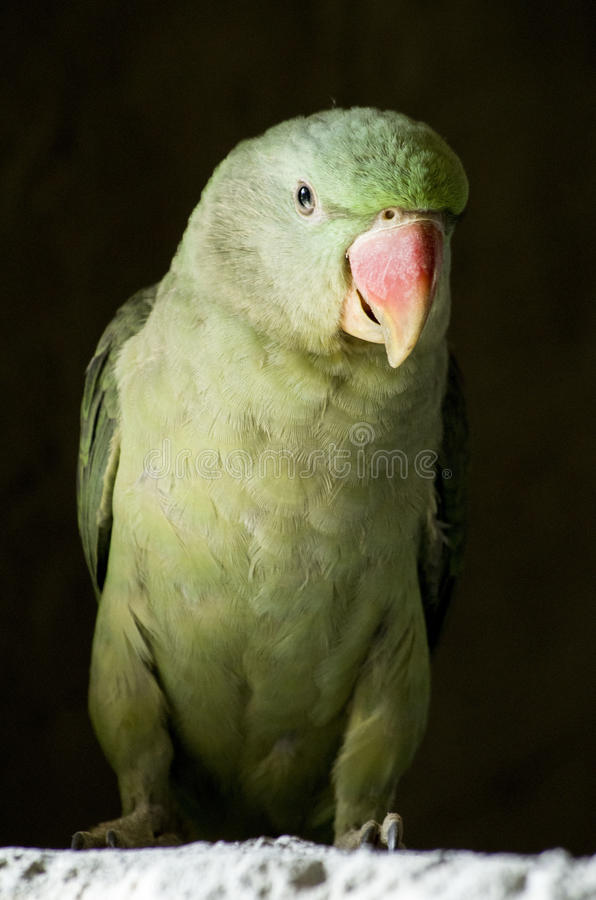 Rose-Ringed Parakeet (Psittacula Krameri). A female rose-ringed parakeet, commonly known as Indian Ring Necked Parrot stock image