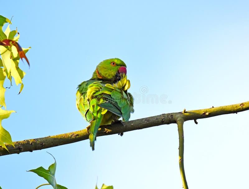 Rose-ringed Parakeet, Psittacula krameri stock photography