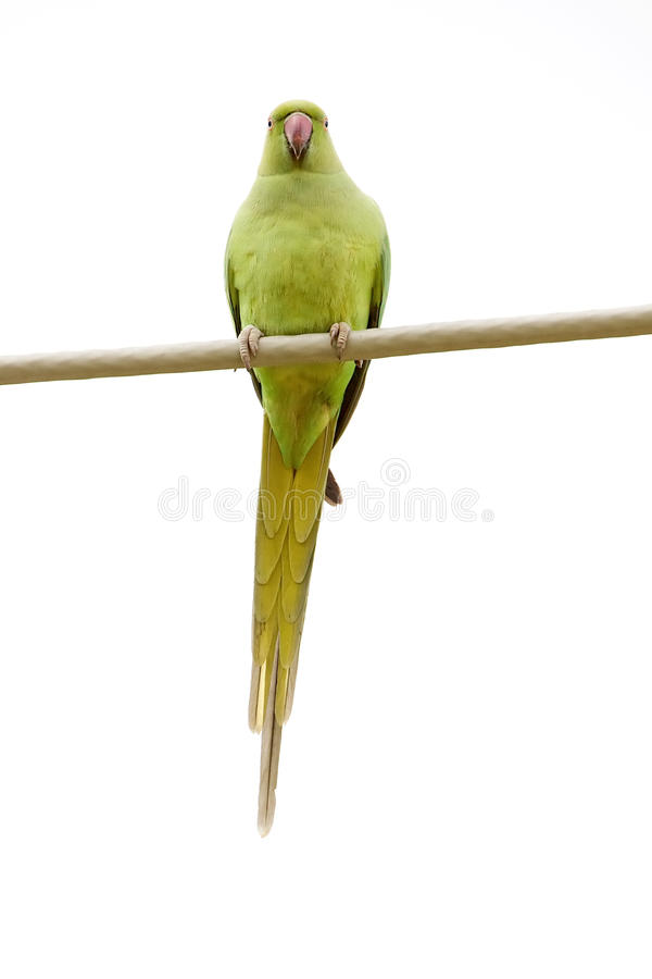 Download Rose-Ringed Parakeet On The Wire Stock Image - Image: 12187113
