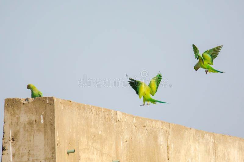 Rose Ringed Parakeets Landing sulla parete fotografie stock libere da diritti