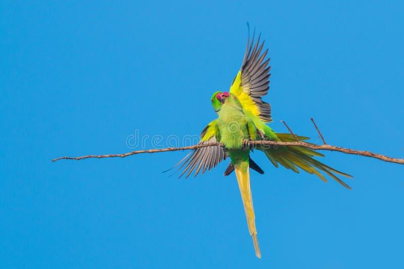 Rose-ringed parakeets mating royalty free stock image