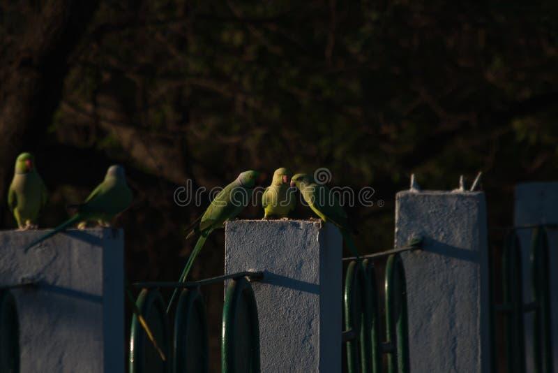 Rose Ringed Parakeets o loros indios que alimentan en los granos puestos por el público cerca de un lago en indore imagen de archivo