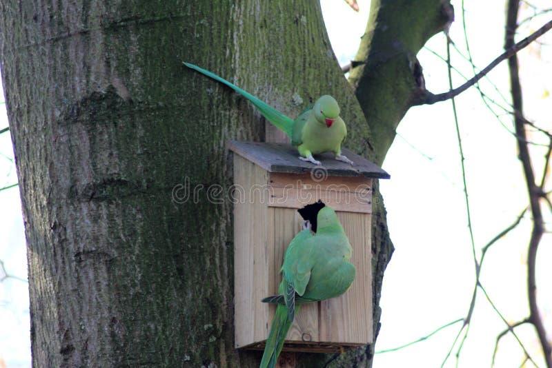 Rose ringed parakeets royalty free stock photo