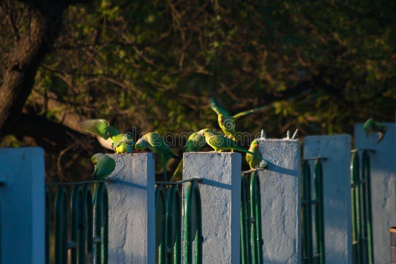 Rose Ringed Parakeets som matar på korn under morgon royaltyfria foton