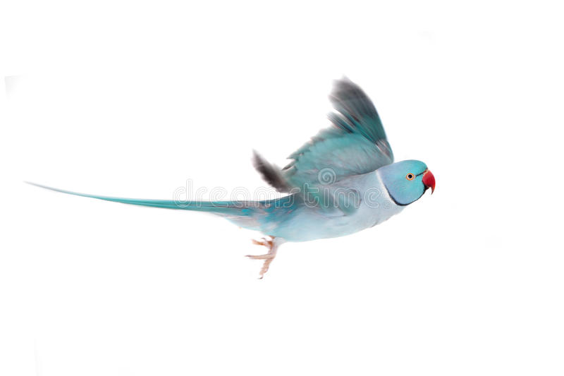 The rose-ringed or ring-necked parakeet on white. The rose-ringed or ring-necked parakeet, Psittacula krameri, male isolated over white background stock images