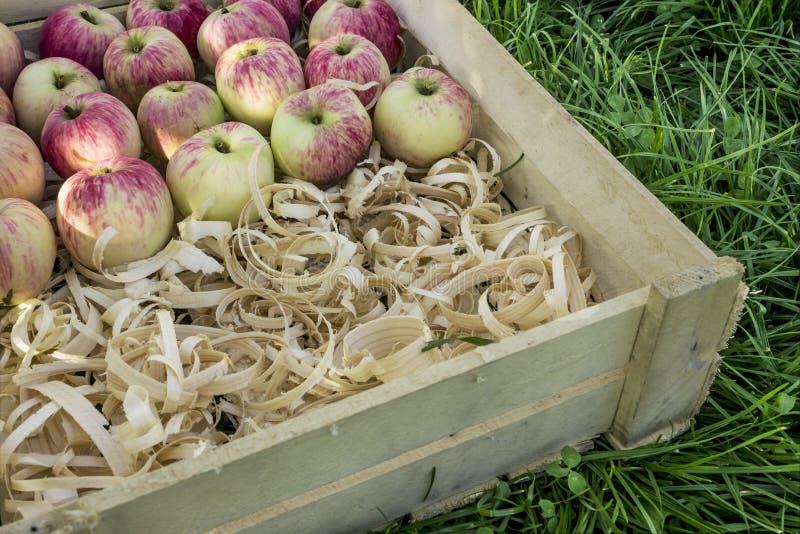 Rose ripe apples lie on shavings. Rose ripe apples in wooden box lie on shavings. August stock photos
