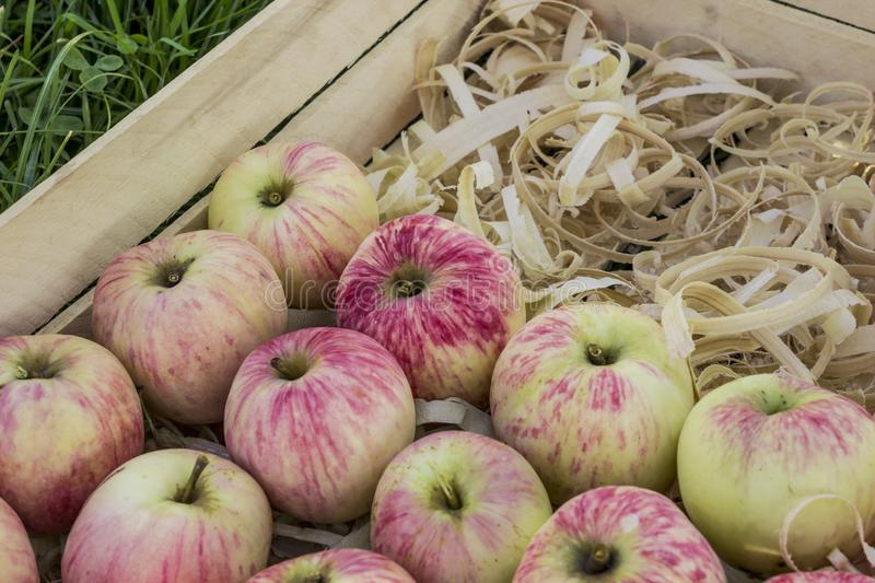 Rose ripe apples stacked in wooden box. Rose ripe apples stacked in shavings in wooden box. August royalty free stock photography