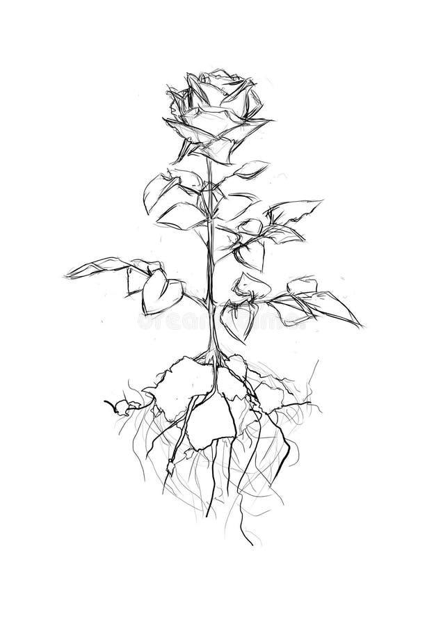 Rose Rising forte illustration stock