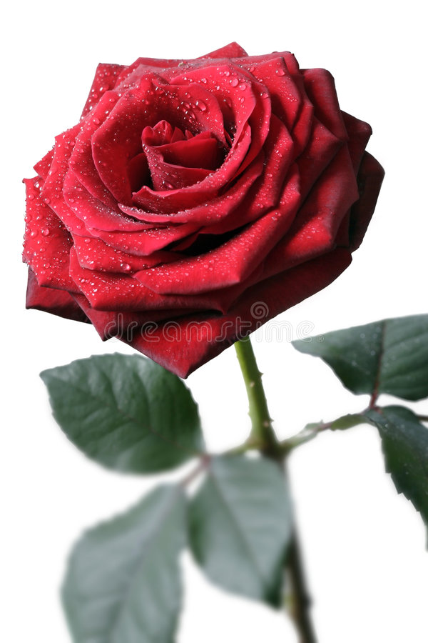 Rose roja foto de archivo