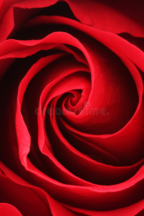 Rose roja fotografía de archivo
