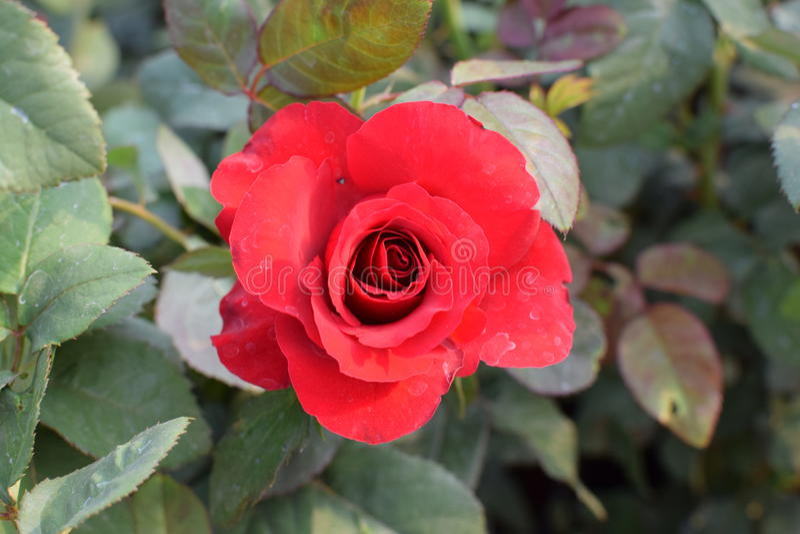 ¡Rose roja!! imagenes de archivo