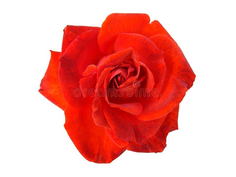 Rose roja aislada imágenes de archivo libres de regalías