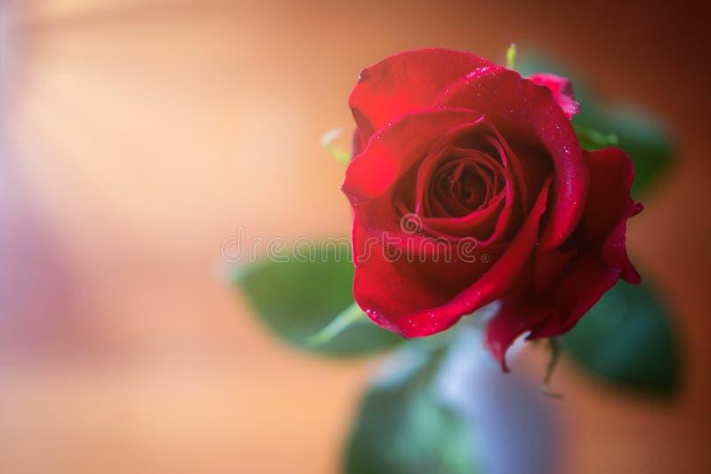 Rose roja cambiante fotografía de archivo libre de regalías