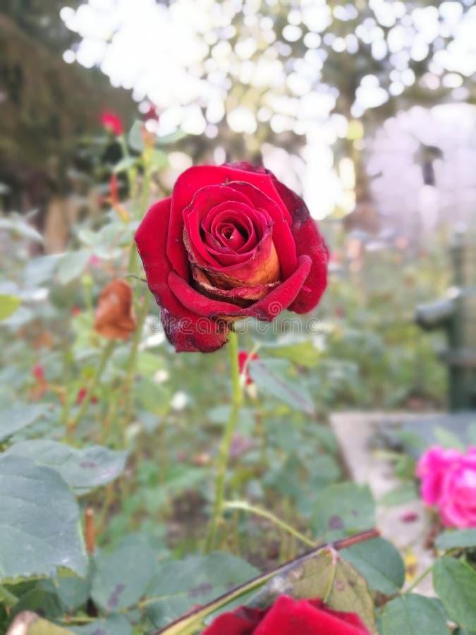 Rose roja en el palacio de Topkapi fotos de archivo