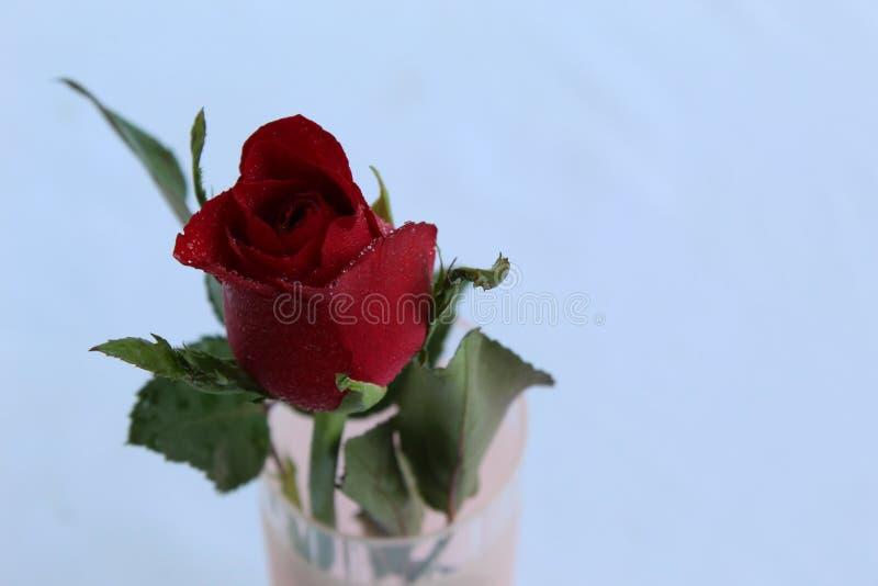 Rose roja en flor hermosa del florero foto de archivo