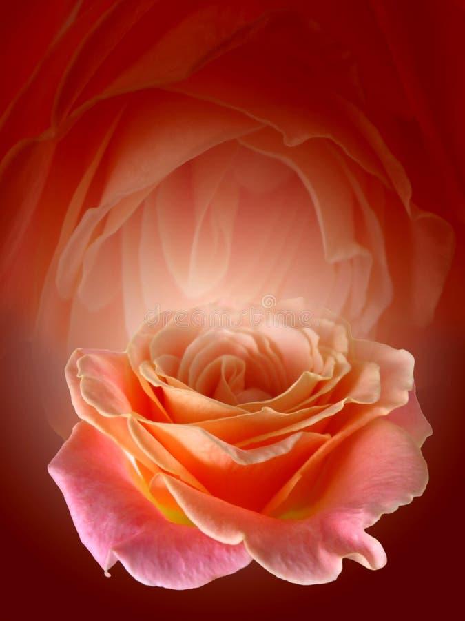 Rose roja hermosa imagen de archivo libre de regalías