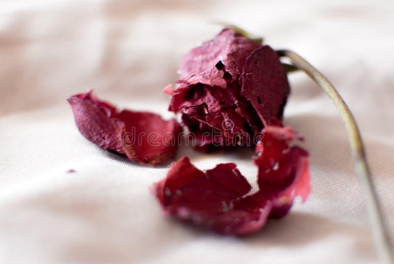 Rose roja marchitada imagenes de archivo