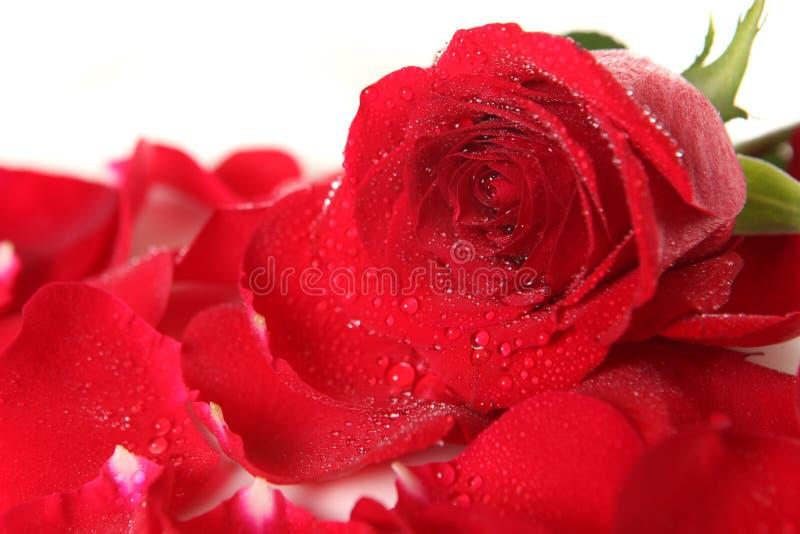 Rose roja que miente entre los pétalos con gotas de rocío fotografía de archivo libre de regalías