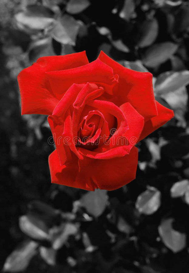 Rose - rojo imagen de archivo libre de regalías