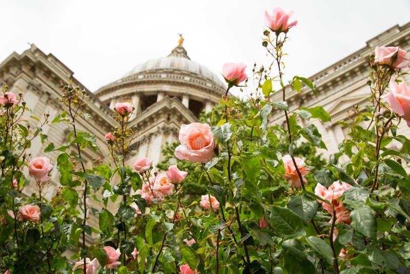 Rose rosa alla cattedrale della st Pauls fotografia stock