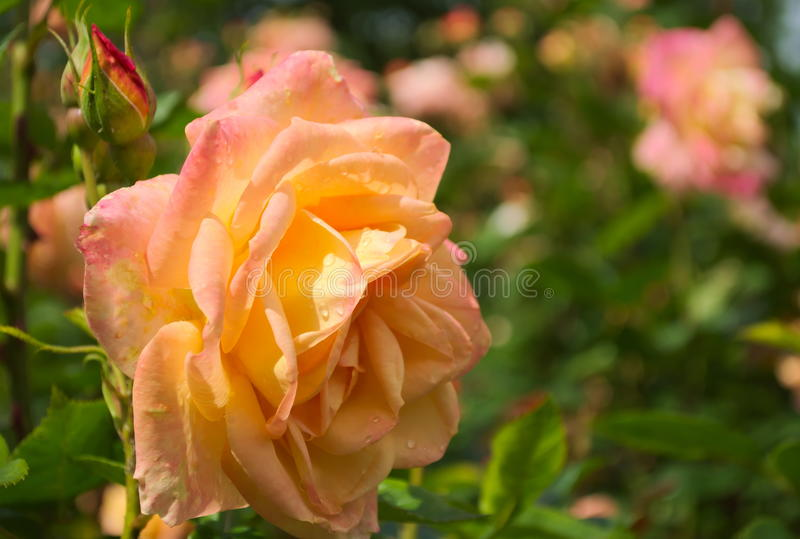 Rose (Rosa Amber Queen) stock photo